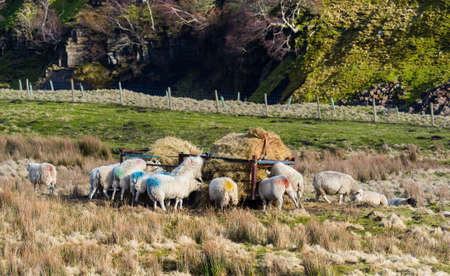 Sheep eating and waiting for food. Scar House reservoir. Nidderdale. Yorkshire Dales