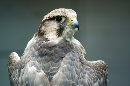 A bird of prey- the Lanner Falcon resting at Wildwood Escot, Devon, UK Stock Photo