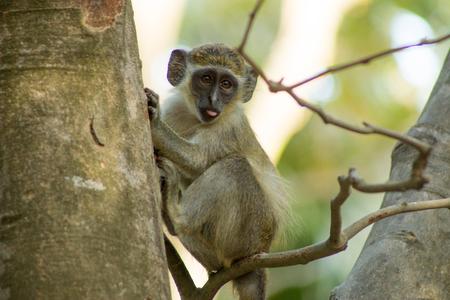 야생 녹색 Vervet 원숭이 Bigilo 삼림 공원 감비아, 서 부 아프리카에에서있는 스톡 콘텐츠