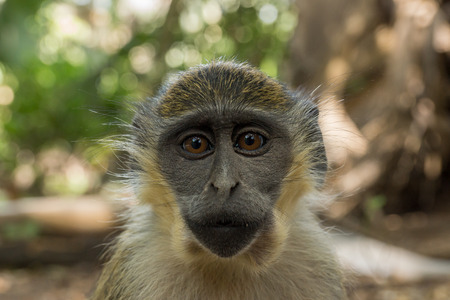 Wild Green Vervet Monkeys in Bigilo forest park located in The Gambia, West Africa Stock Photo