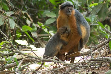 서부 아프리카의 감비아에 위치한 Bigilo 삼림 공원에있는 빨간 부츠 원숭이 스톡 콘텐츠