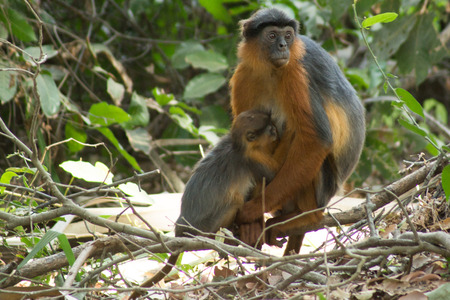 Red Colobus Monkeys in Bigilo forest park located in The Gambia, West Africa 免版税图像