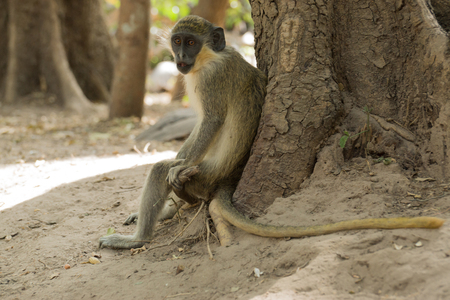 Wild Green Vervet Monkeys in Bigilo forest park located in The Gambia, West Africa Stock Photo - 92762754
