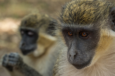 Wild Green Vervet Monkeys in Bigilo forest park located in The Gambia, West Africa Stock Photo - 92779422