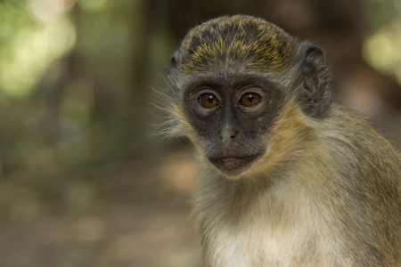 Wild Green Vervet Monkeys in Bigilo forest park located in The Gambia, West Africa 스톡 콘텐츠