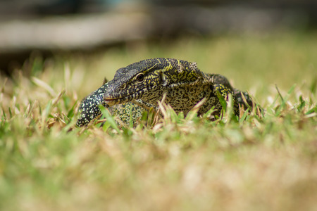 A wild Varanus stellatus also known as the Nile Monitor lizard in Gambia, West Africa