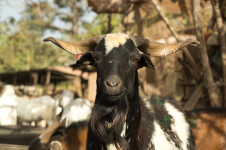 A goat in Serrekunda livestock market in Gambia, West Africa Stock Photo