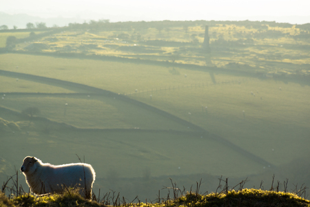 A landscape of Liskeard, Cornwall. A sheep is in the foreground.