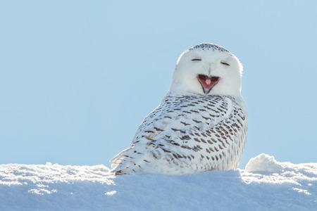 zwierzeta: Sowa śnieżna ziewanie, co sprawia, że wygląda na to