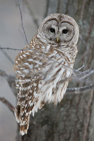 perching: Barred owl in the forest in winter   Hunting   Looking at camera