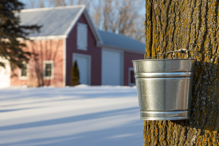sap: Tapping maple trees for their sap in the Spring. Stock Photo