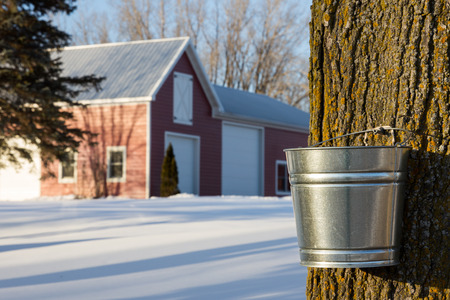 Tapping maple trees for their sap in the Spring. Stock Photo