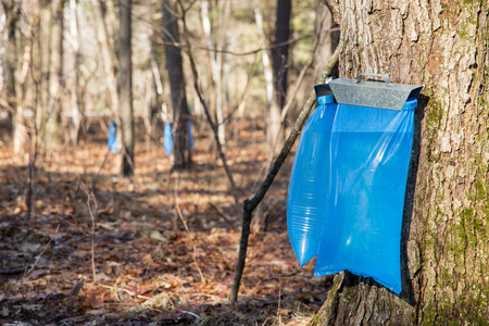 Tapping maple trees in the Spring to make maple syrup.  Selective focus on the bulging blue collection bags in the foreground.