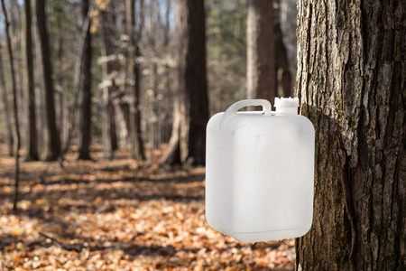 A white bottle is collecting sap from a sugar maple tree in traditional rural fashion