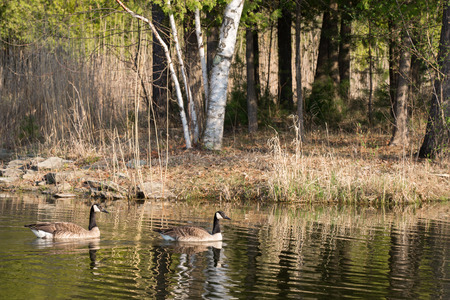 A pair of Canada Geese branta canadensis swimming near shore on a rippling pond in the Spring.  Text space in right half of frame. photo