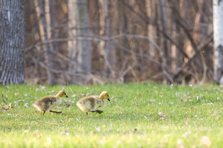 canadian geese: A pair of determined baby Canadian Geese branta canadensis walking through a park in the Spring.  Selective focus on the goslings with copy space in upper part of frame. Stock Photo