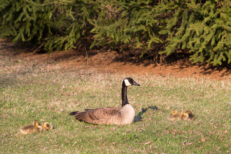 branta: A mother Canadian Goose branta canadensis sitting with her baby goslings. Stock Photo