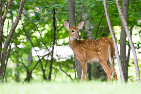 Spotted fawn standing at the edge of the woods looking back over its shoulder. Stock Photo