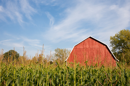 A classic red barn sitting behind tall late-summer corn with a dramatic blue sky.  Ample copy space in the sky if needed. Stock Photo