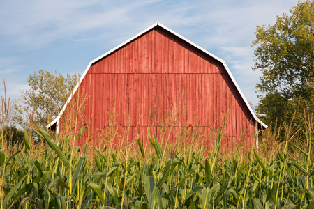 A classic red barn sitting behind tall late-summer corn.