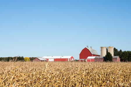 Red barn and other rural farm buildings behind a field of dry autumn corn.  Ample copy space in clear sky if needed. Stockfoto