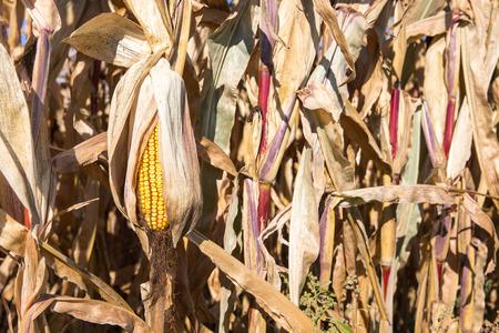 drooping: Dry ear of late season corn that is drooping in the autumn sun and is set among dry corn stalks.  Selective focus on the yellow ear.  Copy space in right frame if needed. Stock Photo