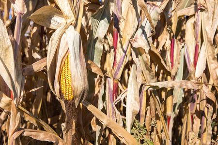 mazorca de maiz: Oído seco del maíz de fines de temporada que está caída en el sol de otoño y está situado entre los tallos de maíz secos. Enfoque selectivo en la oreja amarilla. Copiar espacio en el marco de la derecha si es necesario. Foto de archivo