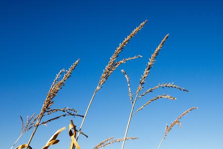 corn stalks: Tassel tops of corn stalks against a clear blue sky.  Shot in autumn so tassels are dry.