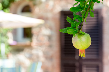 Pomegranate fruit hanging from a tree in front of a de-focused background.  Traditional Mediterranean fruit with earthen tones in the background. Stok Fotoğraf