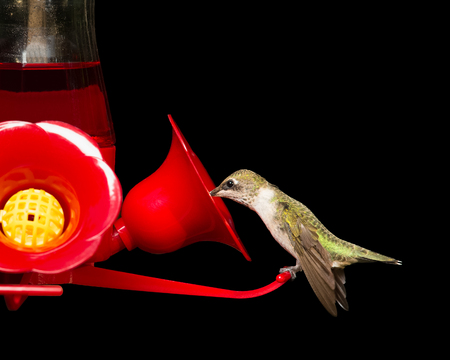 Female ruby-throated hummingbird drinking from a red feeder.  Vivid colors isolated on black.  Close up image with significant detail.