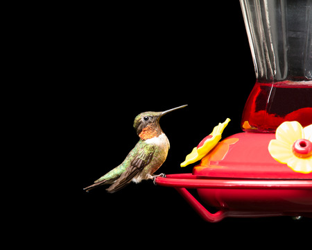 Male ruby-throated hummingbird perched at a red feeder.  Vivid colors isolated on black.  Close up image with significant detail. Stock Photo