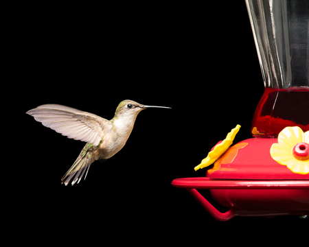 Female ruby-throated hummingbird flying near a red feeder.  Vivid colors isolated on black.  Close up image with significant detail. Stock Photo