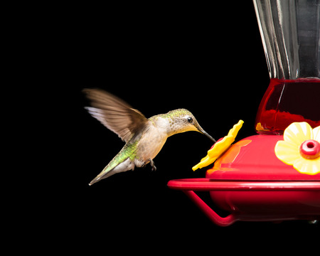 Female ruby-throated hummingbird drinking from a red feeder while in flight.  Vivid colors isolated on black.  Close up image with significant detail. Stock Photo