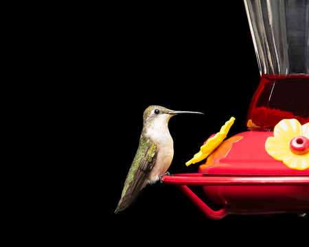 Female ruby-throated hummingbird perched at a red feeder.  Vivid colors isolated on black.  Close up image with significant detail. Stock Photo