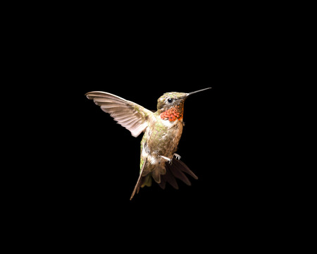 Male ruby-throated hummingbird in flight and isolated on a black background.  Close up image with vivid colors and significant detail. Stock Photo