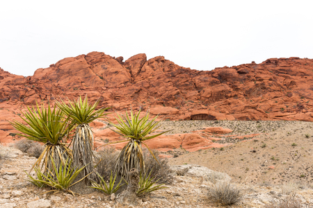 Yucca plant in front of a rock ridge at Red Rock Canyon National Conservation Area near Las Vegas, Nevada.  Copy space if needed in the clear sky.