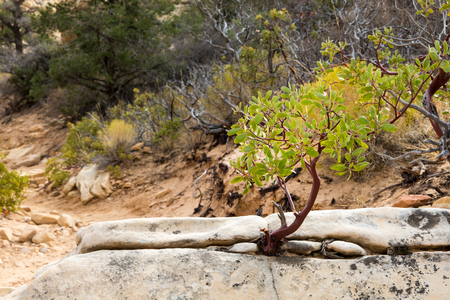 Young manzanita tree growing from a rock in the desert at Red Rock Canyon National Conservation Area outside of Las Vegas, Nevada.  Classic metaphor for life surviving in a harsh environment.