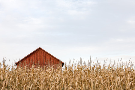 Red farm building seen behind a wall of tall dry autumn corn.  Ample copy space in sky if needed.  Concepts could include agriculture, rural life, solitude, or many others.