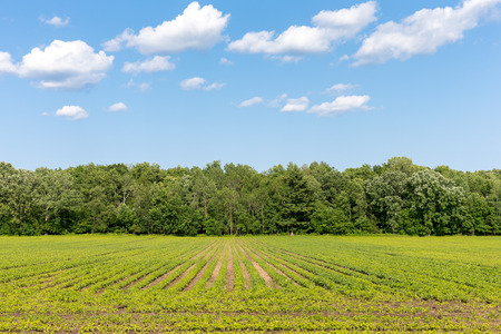 Crop rows leading to trees and blue sky with clouds and copy space if needed.  Agriculture, nature, or food background.