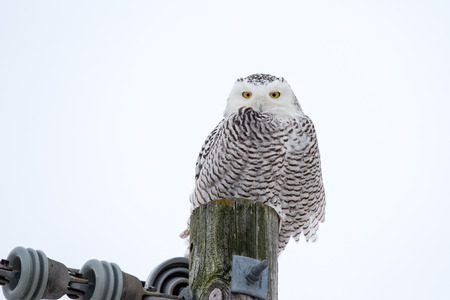 Snowy Owl (bubo scandiacus) sitting on a utility pole in the wild and looking at camera.  Lots of detail and room for copy if needed. Stock Photo