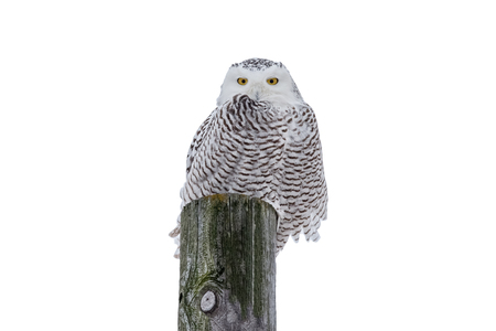 Snowy owl (bubo scandiacus) sitting on a wooden post in the wild and looking at camera.  Isolated on a white background.  Lots of detail. Stock Photo
