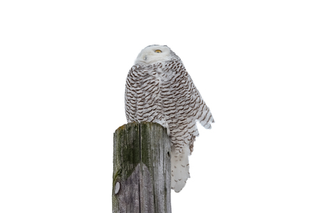 Snowy owl (bubo scandiacus) sitting on a wooden post and facing into the wind.  Isolated on a white background.  Lots of detail.