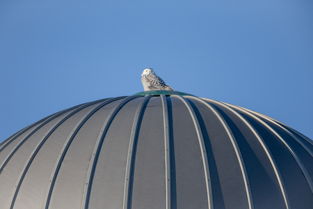 Snowy owl (bubo scandiacus) perched atop a farm silo and looking at the camera.  Copy space in sky if needed.