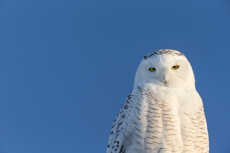 Snowy owl (bubo scandiacus) looking at camera with copy space on left side of frame.  Owl has considerable detail.
