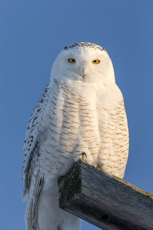 Snowy owl (bubo scandiacus) perched atop a wooden beam and looking at the camera.  Owl has a serious expression and considerable detail.