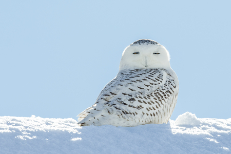 Snowy owl (bubo scandiacus) sitting it the snow and looking at camera with serious expression and eyes half closed.  Backlit subject with considerable detail. Stock Photo