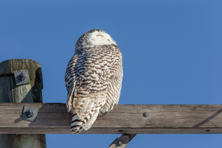 Snowy owl (bubo scandiacus) perched atop a wooden beam and looking into the sun.  Owl has considerable detail. Stock Photo