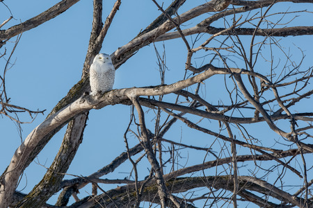 Snowy owl (bubo scandiacus) perched in a tree while hunting.