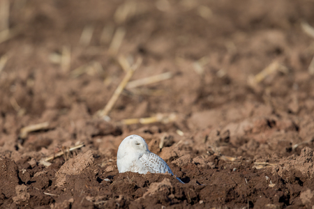 Snowy owl (bubo scandiacus) sitting in a farm field and looking to the right.  Selective focus on the owl.  Plenty of room for copy in upper frame if needed. Stock Photo