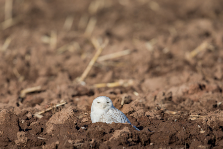 Snowy owl (bubo scandiacus) sitting in a farm field and looking into camera.  Selective focus on the owl.  Plenty of room for copy in upper frame if needed. Stock Photo